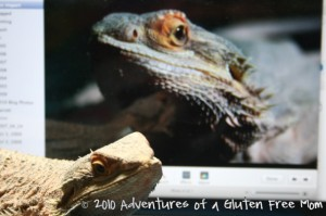 Australian Bearded Dragon0
